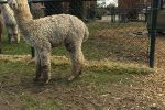 alpaca boederij