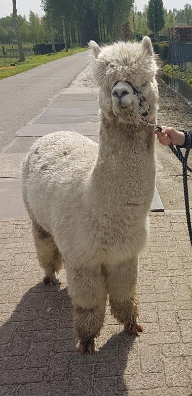 alpaca-dekhengst-carinho