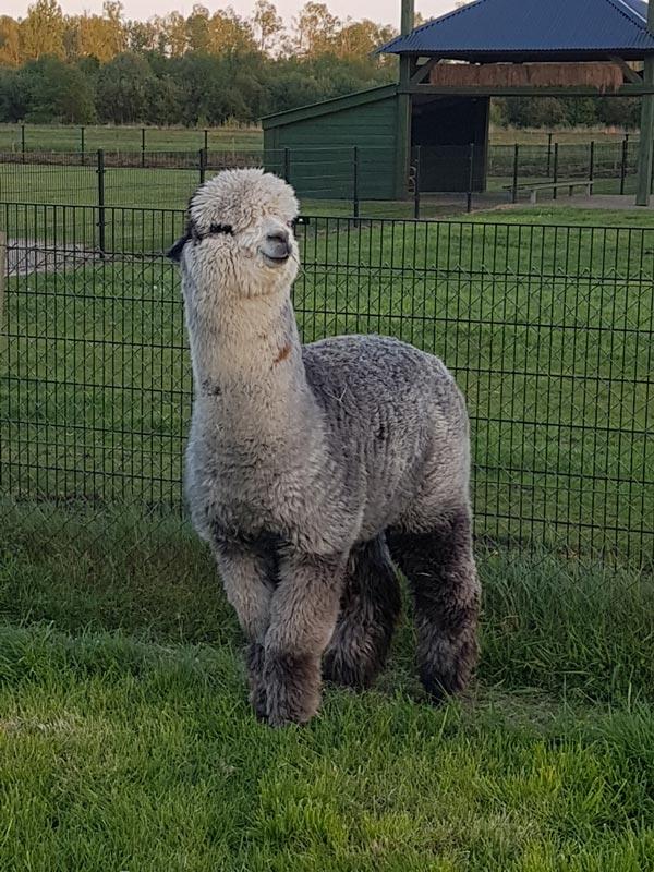 alpaca-dekhengst-mich