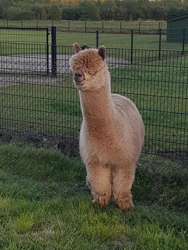 alpaca-dekhengst-olympus